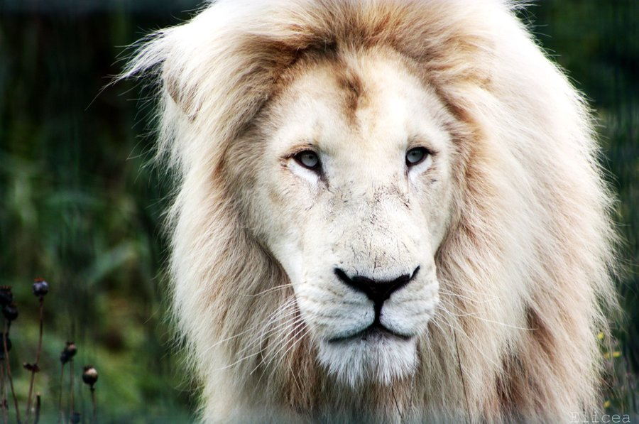 beautiful white lion